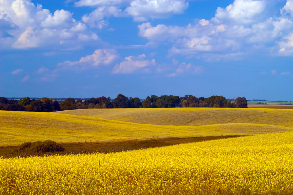 A landscape of yellow field and blue sky in Kimberly Idaho
